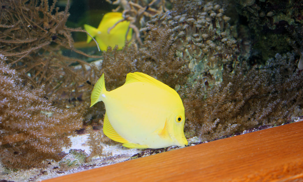 alone Yellow-fish hor